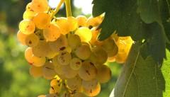 Weintour Toskana | Weinprobe Vernaccia